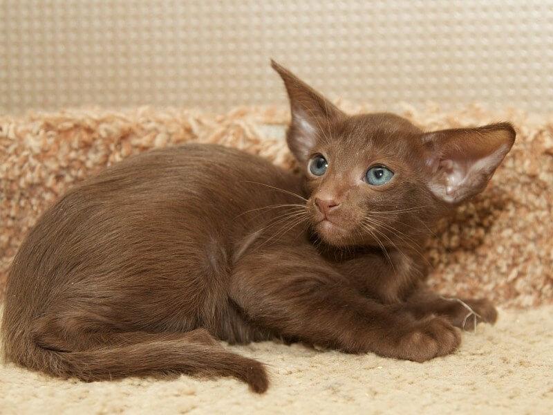 Фото котёнка породы Гавана Браун