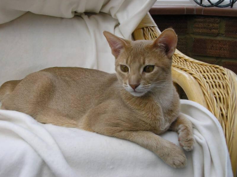 Фото абиссинской кошки бежевого окраса