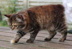 Фото кота породы Кимрик