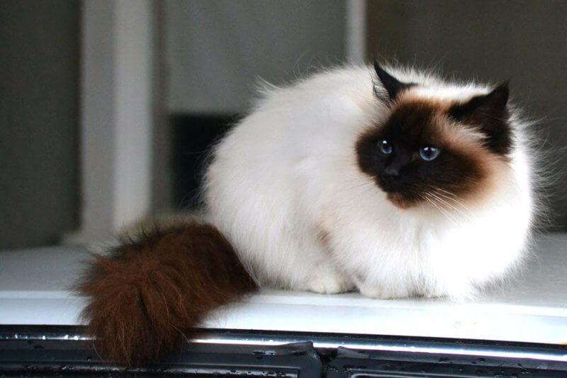 Фото кошки гималайской породы