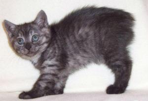 Фото котёнка породы Кимрик