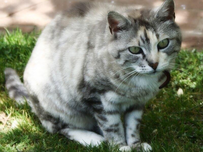 Фото кота породы Австралийский мист