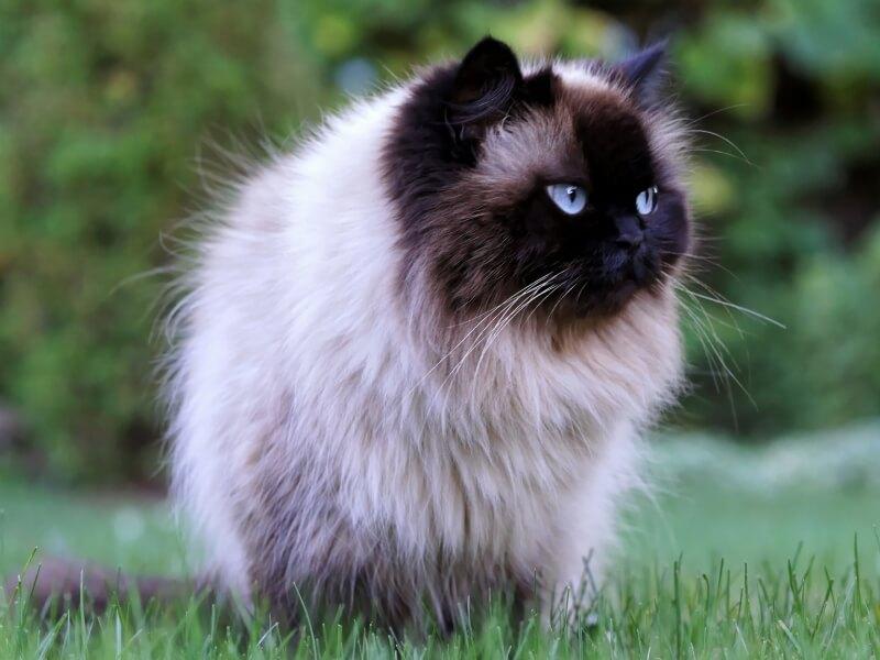 Фото кота гималайской породы