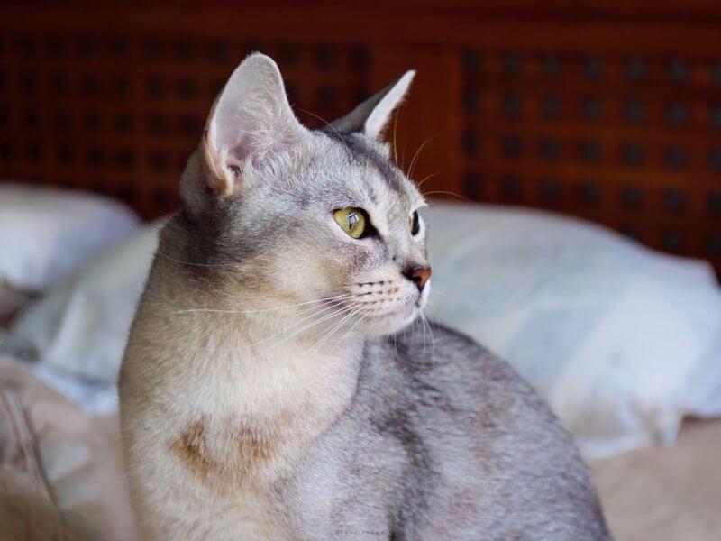 Фото абиссинской кошки голубого окраса