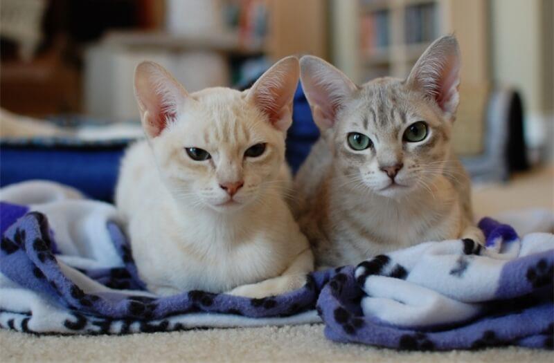 Фото котят породы Австралийский мист