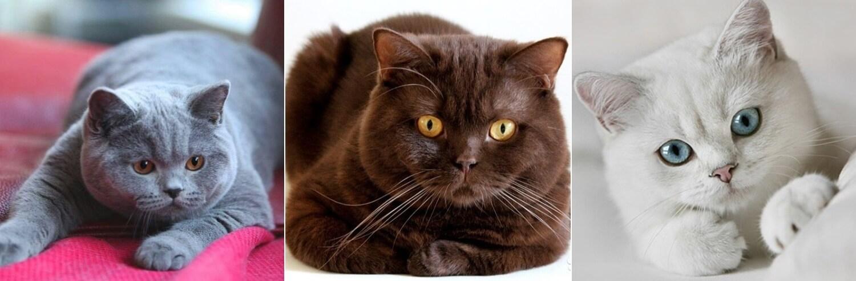 На фото Британская короткошёрстная кошка окрасов: голубой, шоколадный, белый