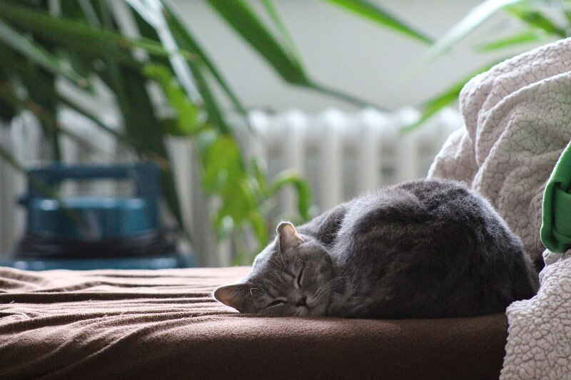 На фото Британская короткошёрстная кошка
