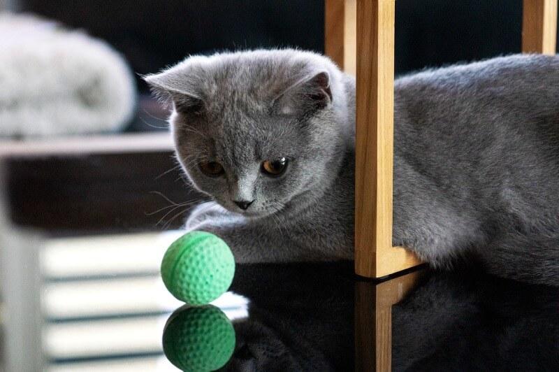 Фото котёнка породы Британская короткошёрстная