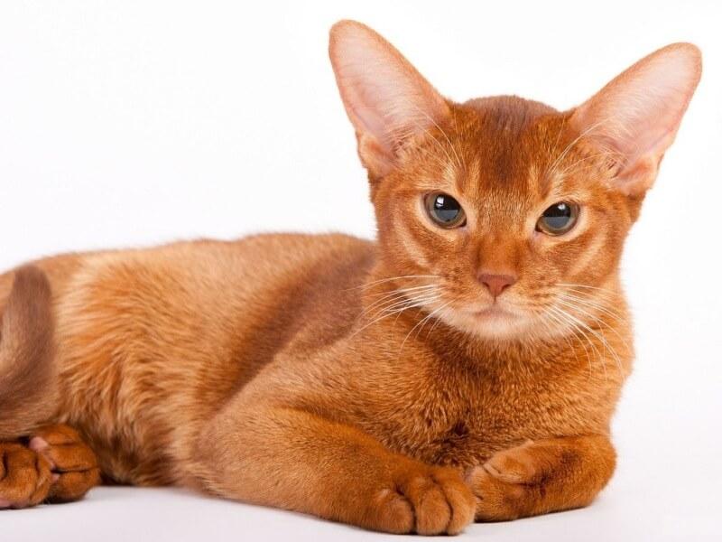 Фото абиссинской кошки окраса Соррель