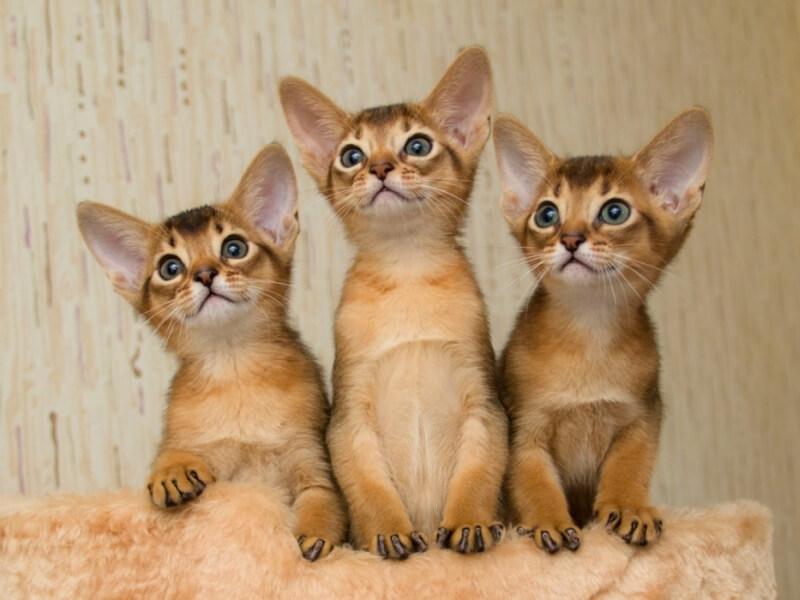 На фото котята абиссинской породы