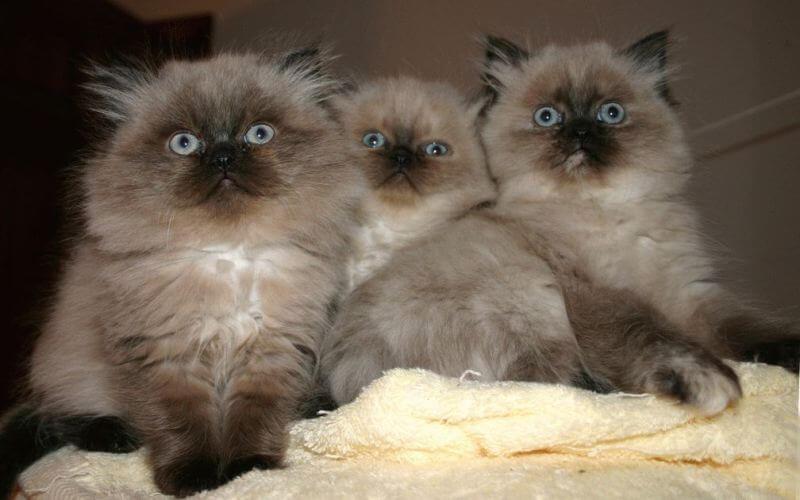 Фото котят гималайской кошки