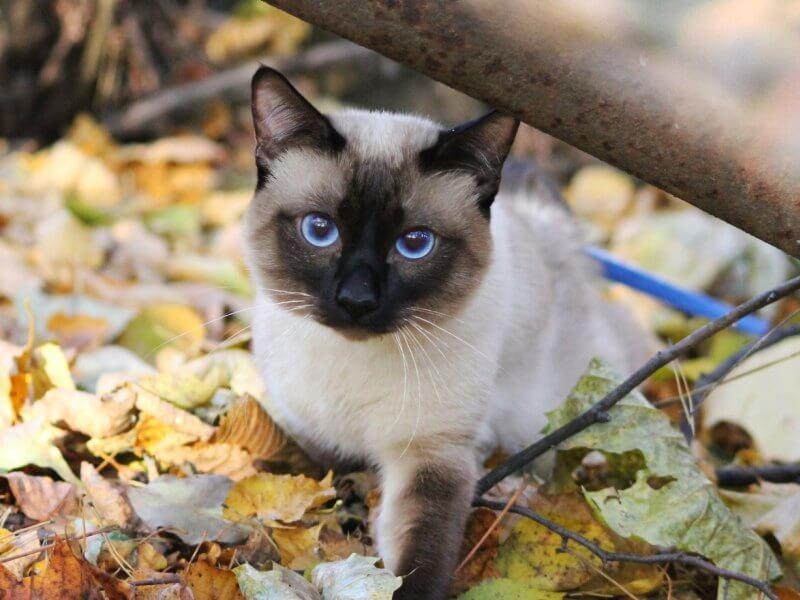 На фото кошка породы Меконгский бобтейл