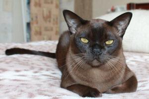 Фото кота бурманской породы