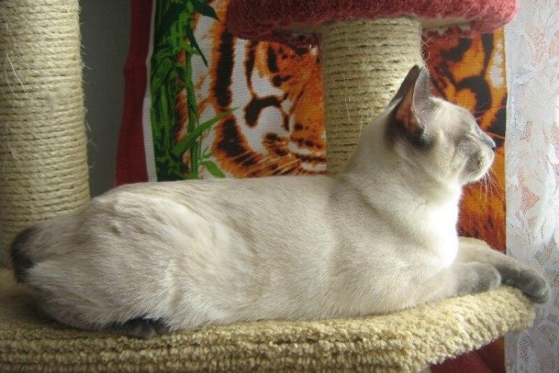 На фото кот породы Меконгский бобтейл