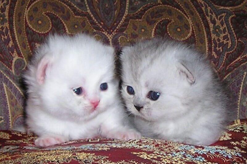 На фото котята породы Наполеон (Менуэт)