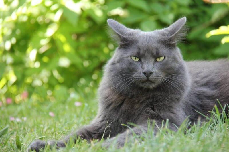 На фото кот породы Нибелунг