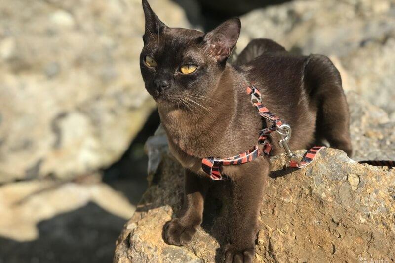 На фото бурманская короткошёрстная кошка на прогулке с использованием шлейки