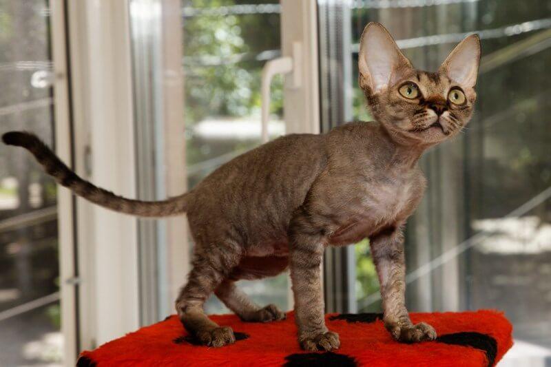 На фото кошка породы Девон-рекс