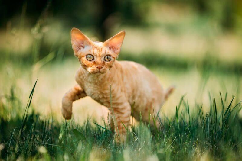 На фото кот породы Девон-рекс