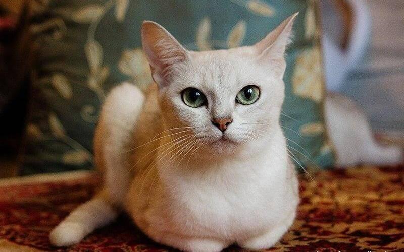 На фото кошка породы Бурмилла короткошёрстная