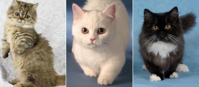 Окрасы кошек Наполеон