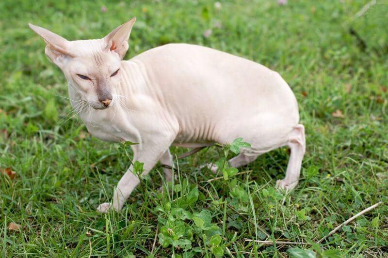 На фото кошка породы Петерболд