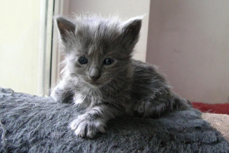 На фото котёнок породы Нибелунг