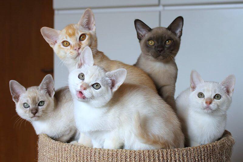 На фото котята породы Бурмилла
