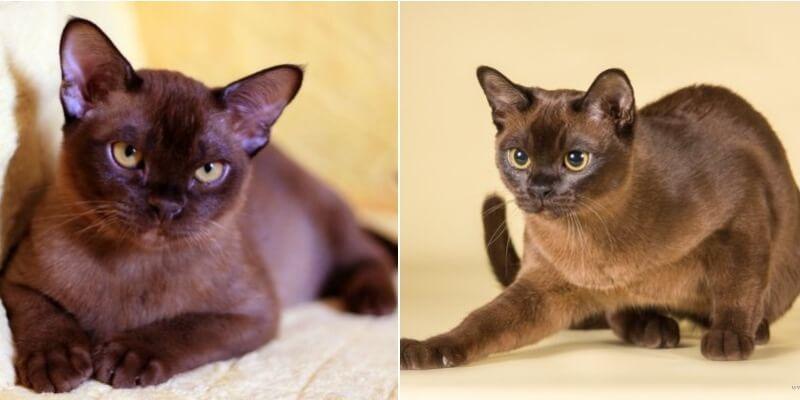 На фото подвиды бурманской короткошёрстной кошки