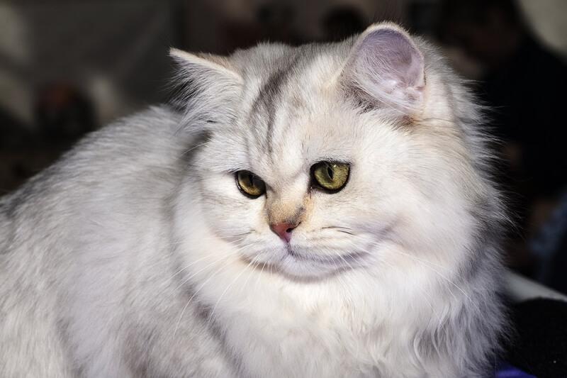 На фото кошка породы Бурмилла длинношёрстная