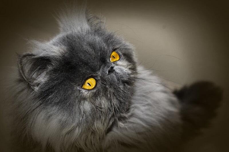 На фото кот персидской породы серого окраса