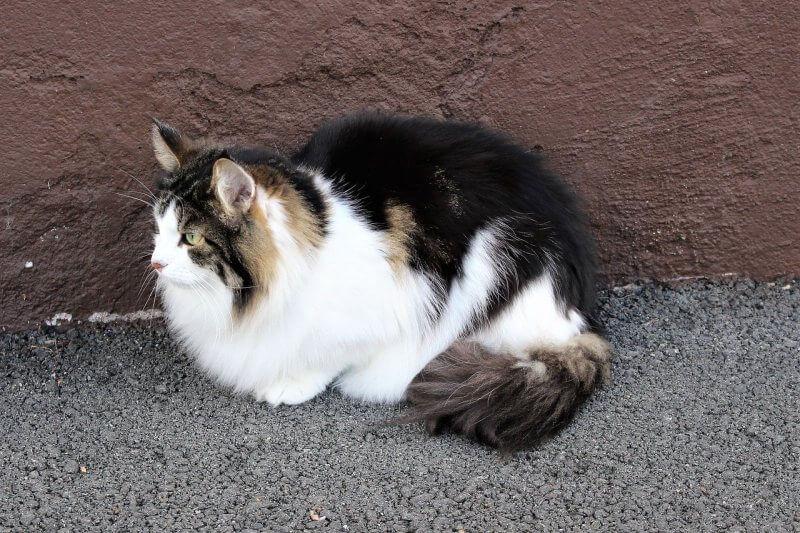 На фото Норвежская лесная кошка, трёхцветная