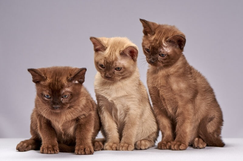 На фото котята породы бурманская короткошёрстная