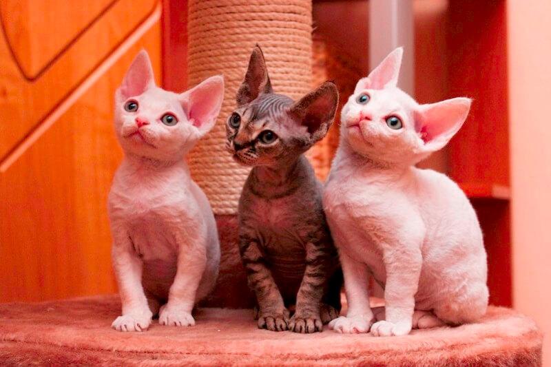 На фото котята породы Девон-рекс