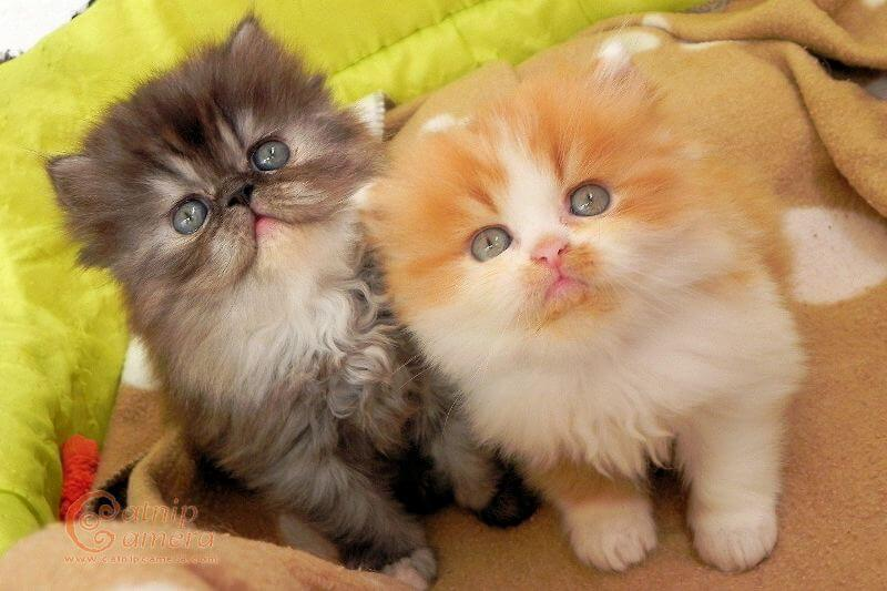 На фото котята Персидской породы