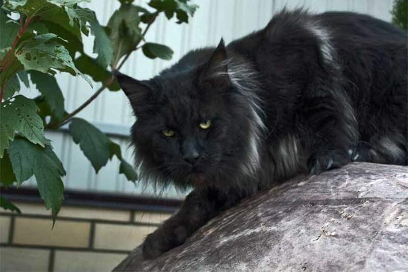 На фото кот породы Мейн-кун