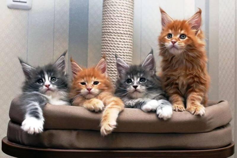 На фото котята породы Мейн-кун