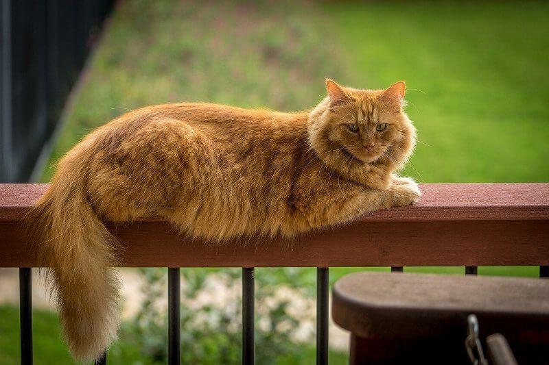 На фото кошка породы Мейн-кун