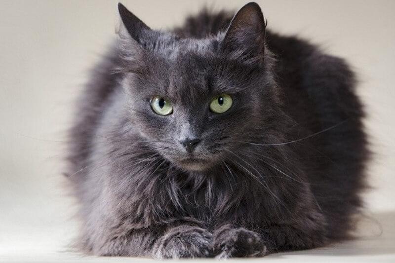 На фото кошка породы Нибелунг