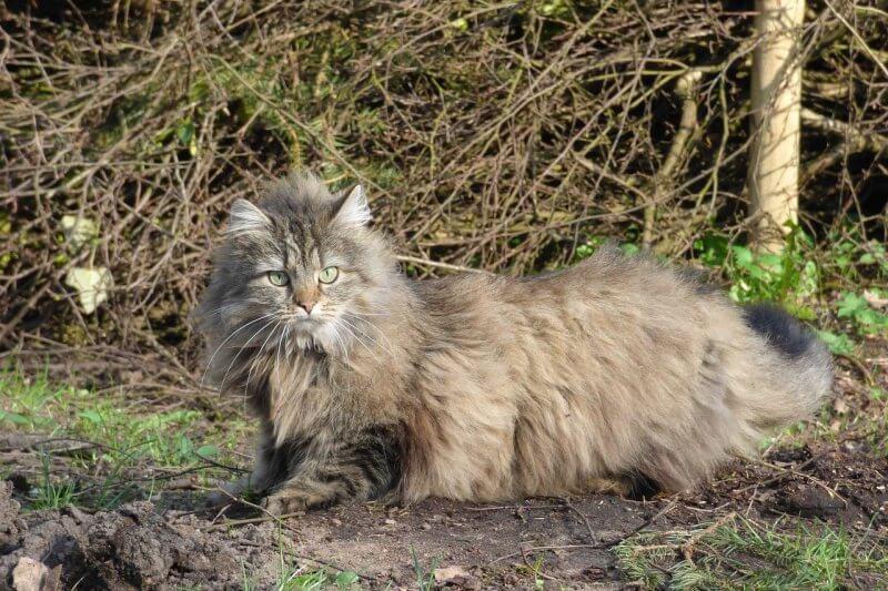 На фото Норвежский лесной кот в естественных условиях