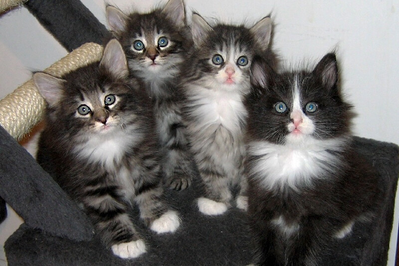 На фото котята норвежской лесной кошки