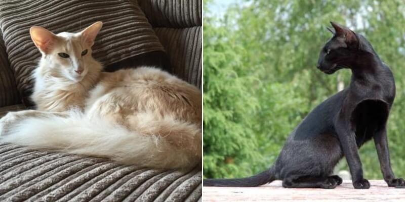 Фото кошки Ориентальной породы