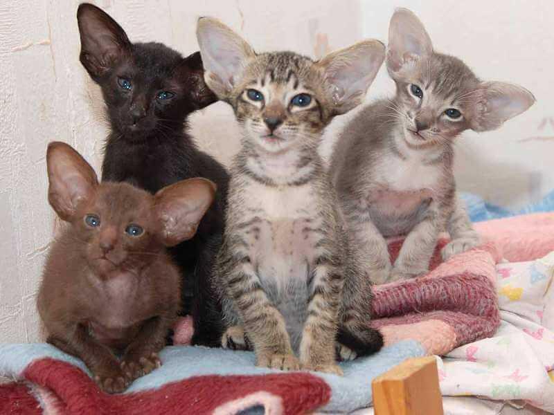 На фото котята Ориентальной породы