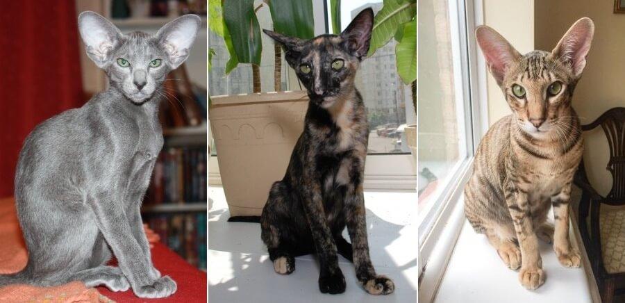 На фото популярные окрасы Ориентальной кошки
