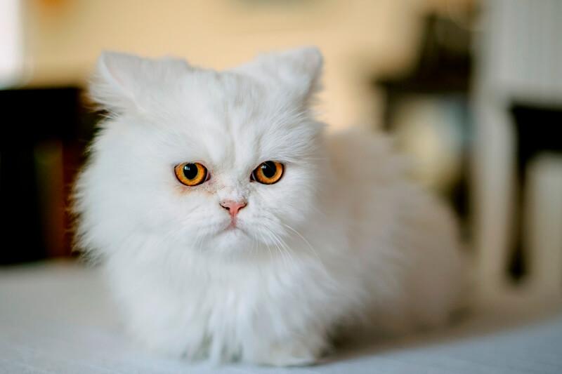 На фото белая персидская кошка