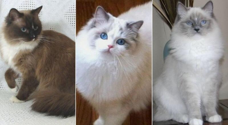 Популярные окрасы у кошек породы Рэгдолл