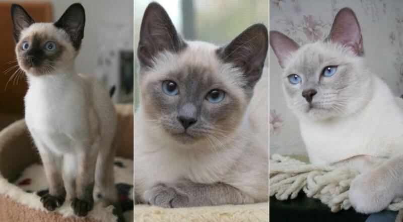 На фото сиамская кошка основных окрасов