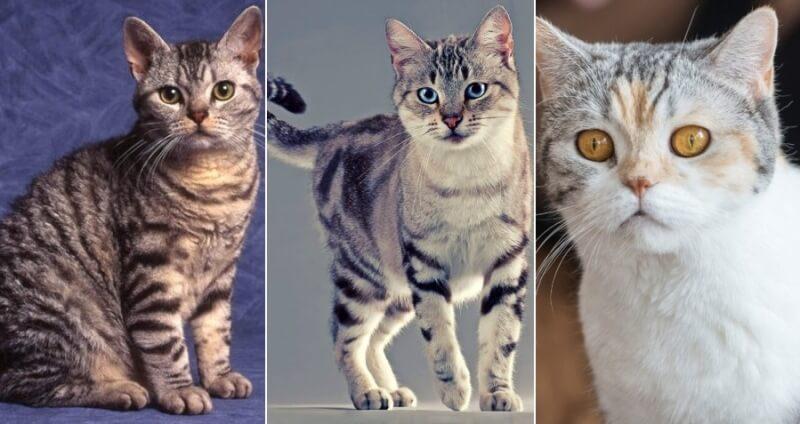На фото Американская жесткошерстная кошка популярных окрасов