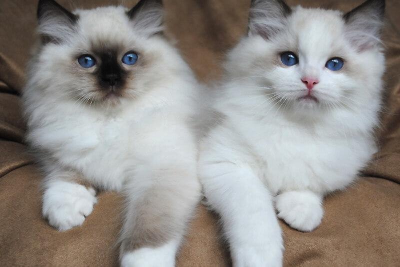 На фото котята породы Рэгдолл