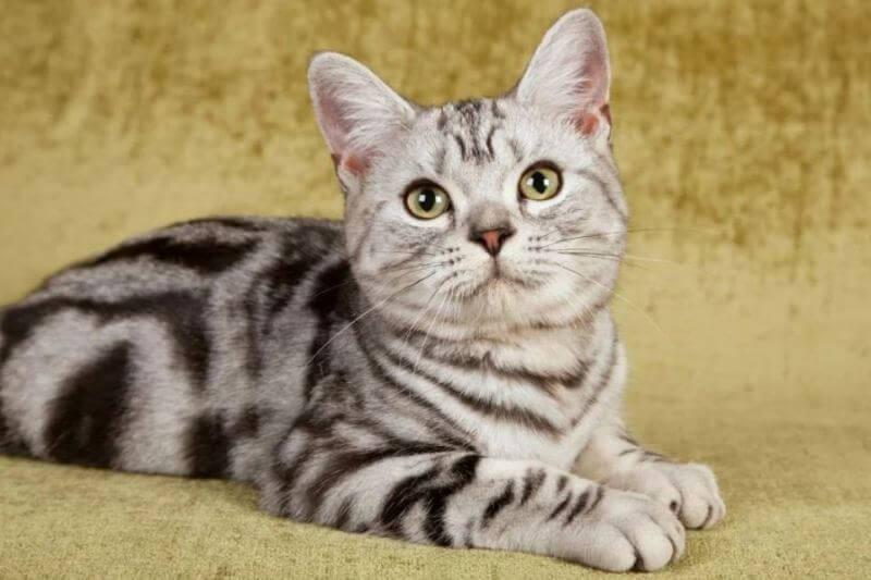 На фото котёнок Американской жесткошерстной кошки